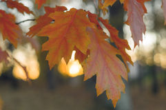 Autumn twig of nothern red oak with orange leaves Stock Image