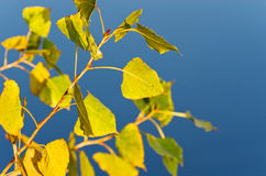 Autumn twig of poplar Stock Image