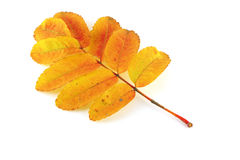 Autumn twig of rowan-tree Royalty Free Stock Photos