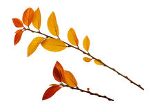 Autumn twigs with yellow and red leaves. Isolated on white stock photos