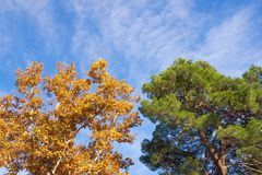 Autumn. Two trees -  deciduous and coniferous - against blue sky. Yellow sycamore  and green pine tree. Autumn. Two trees -  deciduous and coniferous - against royalty free stock image