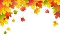Autumn vector background. With maple leaves Stock Images