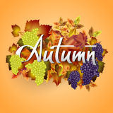 Autumn vector background with  leaves and grapes. Hand-written lettering. Autumn vector background with autumn leaves and grapes. Hand-written lettering Royalty Free Stock Images