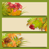 Autumn Vector Fall Leaves Banners. Vector autumn banners with rowan berry and maple fall leaves, flowers, grass Stock Images