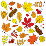 Autumn vector set of different, , detailed outline tree leaves, bunch of ripe Rowan and pine cone on white background. Royalty Free Stock Image
