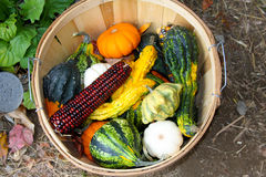 Autumn Vegetables. Basket of squashes and corn harvested in the autumn Royalty Free Stock Image
