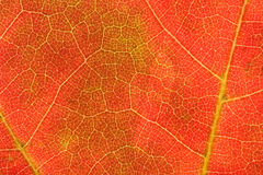 Autumn Veins Royalty Free Stock Photography