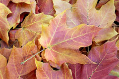 Autumn velvet maple leaves background. Fall maple leaves on the ground Stock Photography