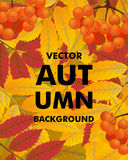 Autumn vertical background with rowan, berries and leaves, fall. Vector illustration Stock Photography