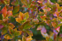 Autumn vibrant leaves Stock Images