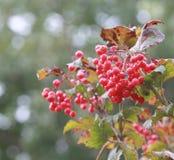 Autumn viburnum Royalty Free Stock Image