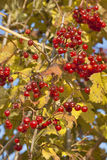Autumn viburnum background Stock Photo