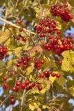 Autumn viburnum background Stock Photo