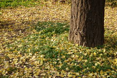 Autumn view. Ginkgo leaves around the tree.It's a very beautiful view of autumn Royalty Free Stock Image