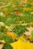 Autumn view. Orange leaves on even green grass. Quiet weather Stock Image