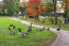 Autumn view in a city park. Autumn landscape with a group of canadian geese on a green grass lawn with fallen leaves in a city park. Midwest USA, Madison Royalty Free Stock Photo