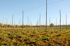 Autumn view of an empty hop garden after harvest Royalty Free Stock Photography