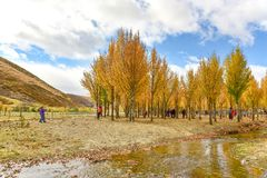 Autumn view of trees in Daocheng county Stock Photos