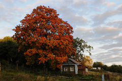 Autumn in a village. Autumn landscape. An orange-red maple, the blue sky with clouds and a touching old small house royalty free stock photography