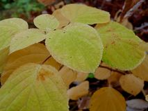 Autumn in the village withering leaves of white hydrangea royalty free stock photos