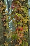 Autumn vine Stock Photos