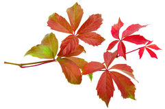 Autumn vine leaf Stock Images