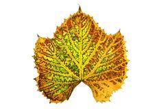 Autumn vine leaf isolated Royalty Free Stock Photos