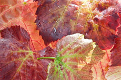 Autumn Vine Leaves Royalty Free Stock Photography