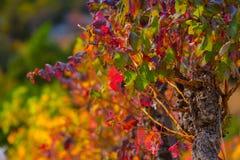 Autumn vine red landscape france. Autumn vine red landscape herault france royalty free stock photography