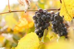 Autumn Vinery Royalty Free Stock Photos