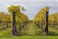 Autumn Vines 02. Grape vines in Hawke's Bay, New Zealand Royalty Free Stock Photo