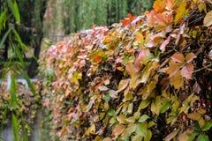 Autumn Vines Stockfotografie