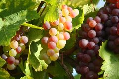 Autumn in the vineyard Royalty Free Stock Images