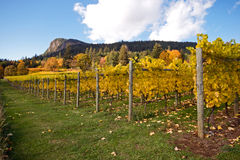 Autumn in a vineyard. Rows of a vines against a rocky hillside are lit by the autumn sun Royalty Free Stock Photography