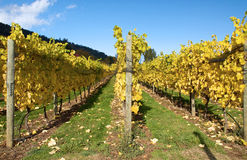 Autumn in a vineyard Stock Photography