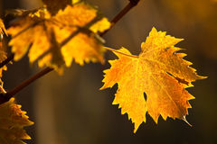 Autumn vineyard. Autumnal vine leaves in a vineyard Stock Images