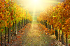 Autumn vineyard. With afternoon sunbeams Royalty Free Stock Images