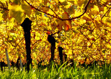 Autumn vineyard Royalty Free Stock Photography