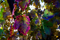 Autumn Vineyard 3 Photos libres de droits