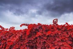 Autumn vineyard on background of blue sky Stock Photo