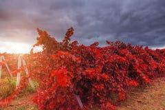 Autumn vineyard on background of blue sky Stock Photography