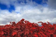 Autumn vineyard on background of blue sky Royalty Free Stock Image