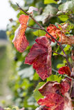 Autumn in the Vineyard with Clolorful Vine Leaves Stock Photos