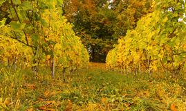 Autumn vineyard. Colorful autumn vineyards landscape and forest with the multicolores leafs on the background Stock Photography