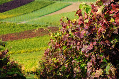 Autumn vineyard Royalty Free Stock Image
