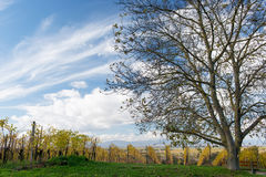 Autumn Vineyard Stock Image