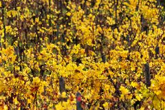 Autumn vineyard. Yellow colors royalty free stock image