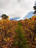 Autumn Vineyard con le foglie dorate Fotografia Stock