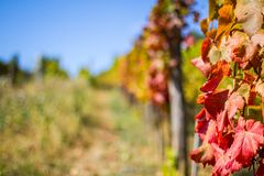Autumn vineyard. And falling leaves Royalty Free Stock Photography