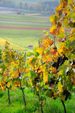 Autumn vineyard. Germany Stock Photos
